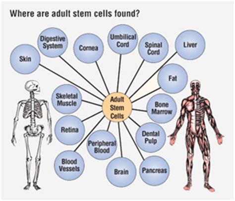 Research done on embryonic stem cells
